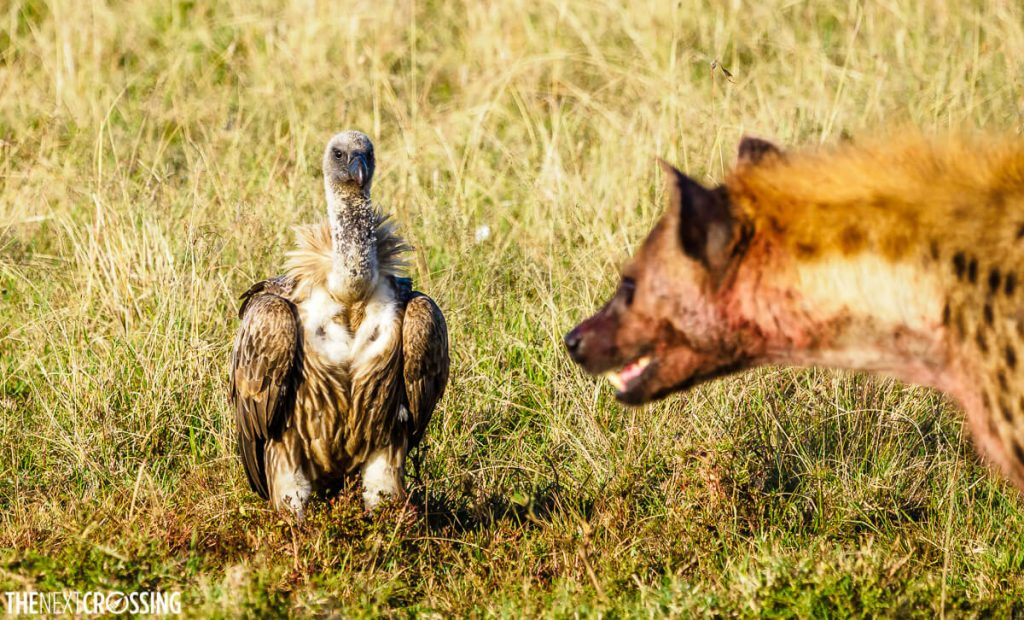 Hyena snarling at a white-backed vulture