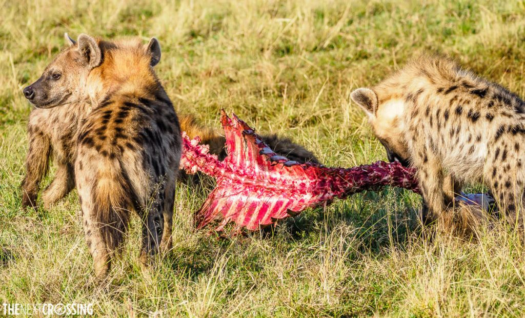 Lower-ranked hyenas continue to munch on the ribs of the carcass