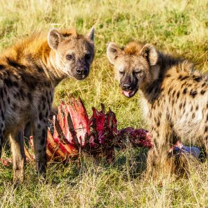 Pack of Hyenas in the Masai Mara