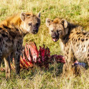 Pack of Hyenas in the Masai Mara