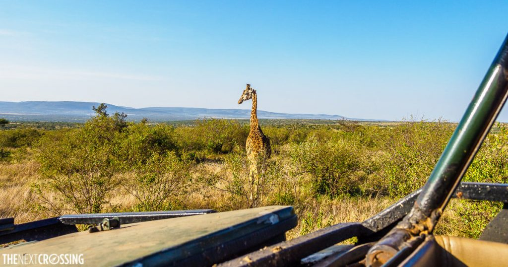 A giraffe, as seen from the open top roof of a jeep