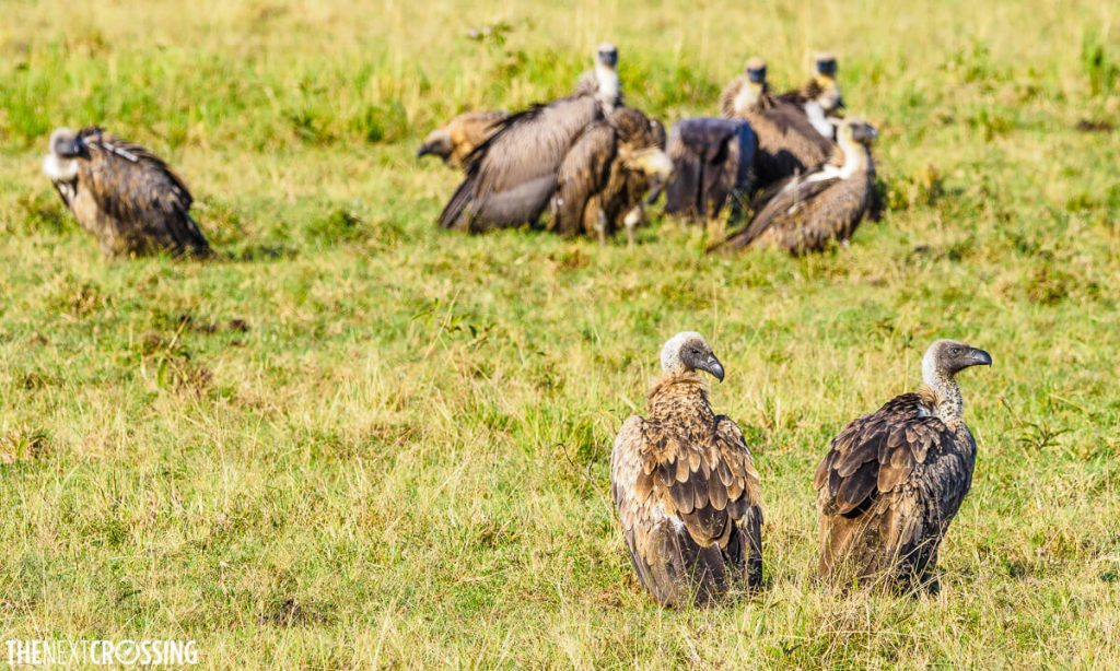 Vultures gathered around the carcass of a hyena in the green grass of the Masai Mara