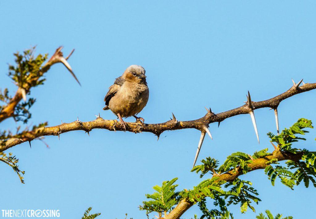 Little fluffy brown bird on the Masai Mara