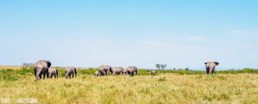 A herd of elephants following their matriarch across the grasslands of the Masai Mara