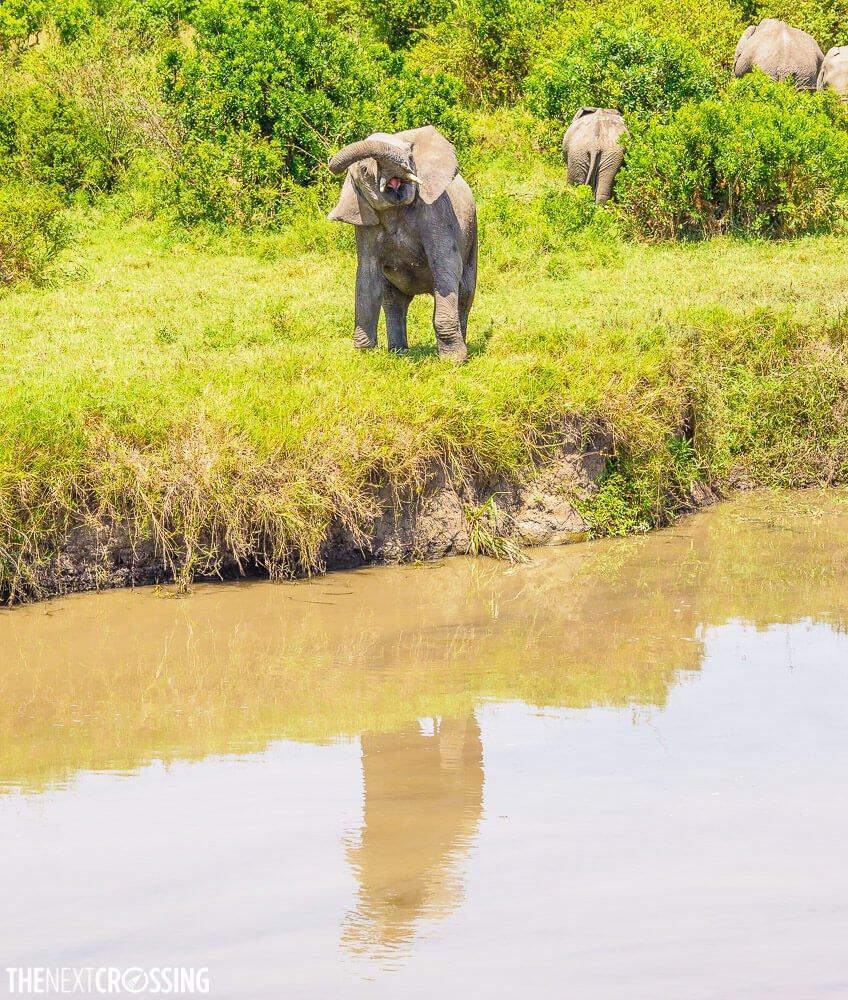 Young bull elephant exhibiting musking behaviour