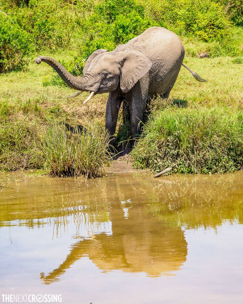 Young elephant at a watering hole with reflection, on the Masai Mara