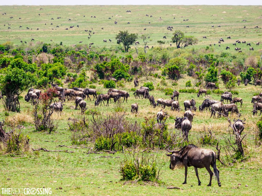 A herd of hundreds of wildebeest, stretching out onto the plains of the Masai Mara Nature Reserve
