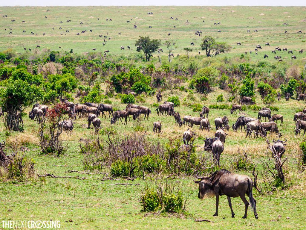 Vas herds of wildebeest dot the green plains of the Masai Mara