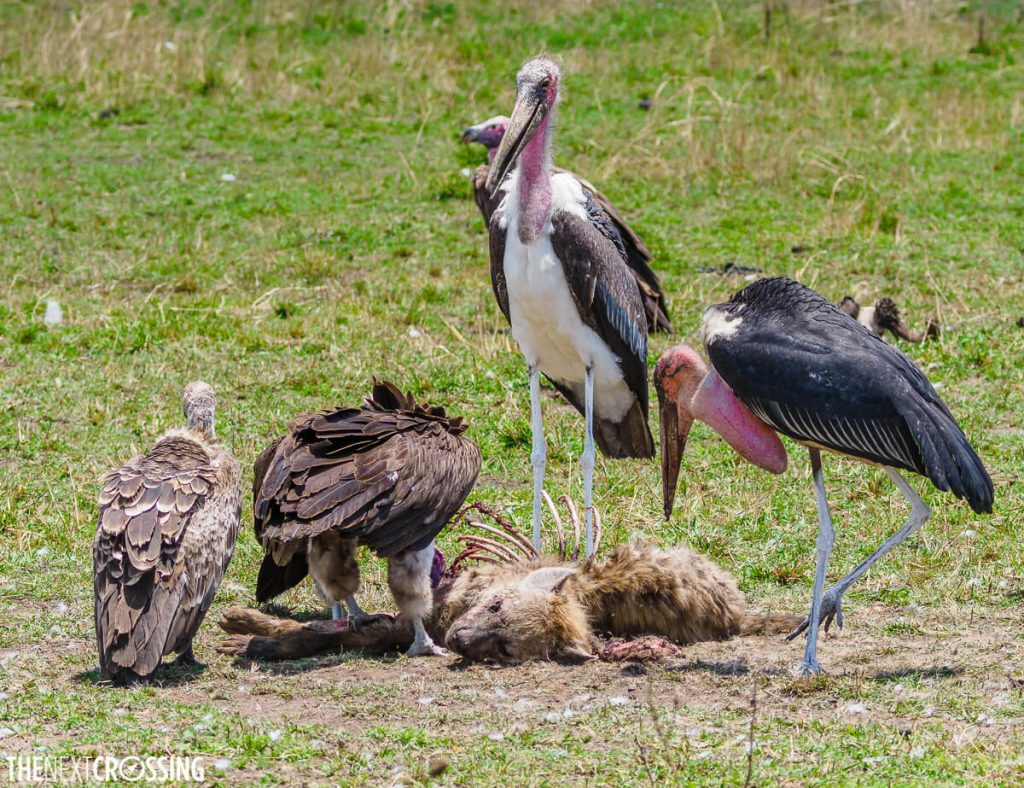 A dead hyena being eaten by vultures and marabou storks