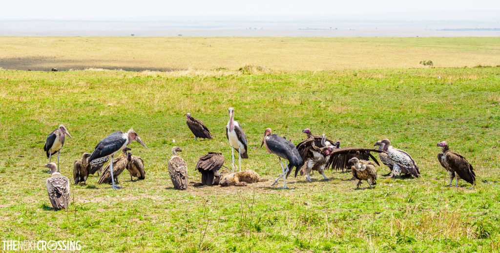 lappet vultures, white-backed vultures and marabou storks gather around the dead body of a hyena on the green grassy plains of the Masai Mara