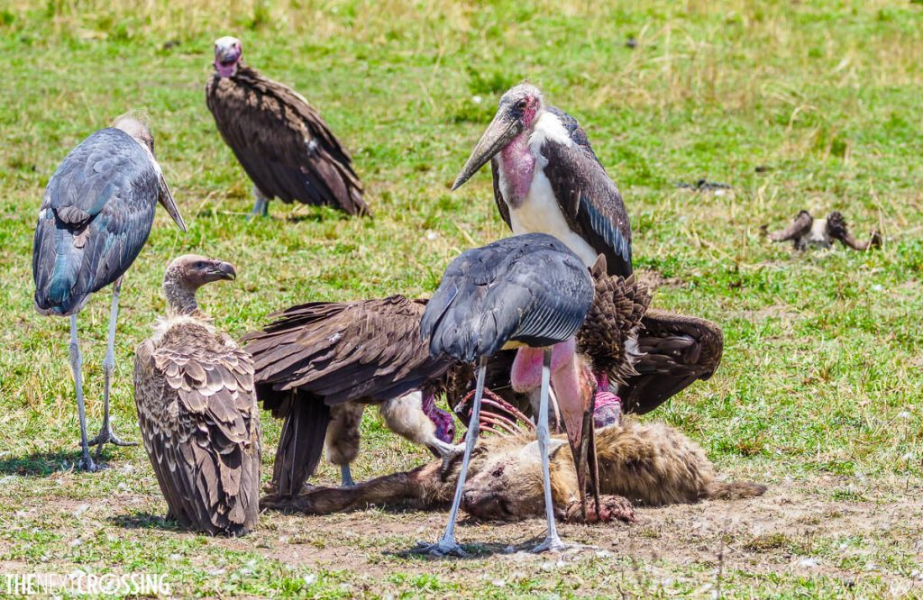 Vultures and marabou storks feating on a hyena carcass
