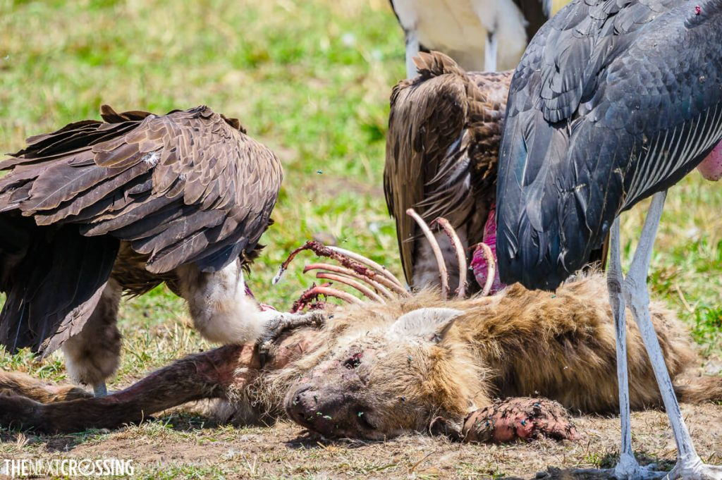 A hyena carcass being consumed by other scavengers like the white-backed vulture and marabou stork