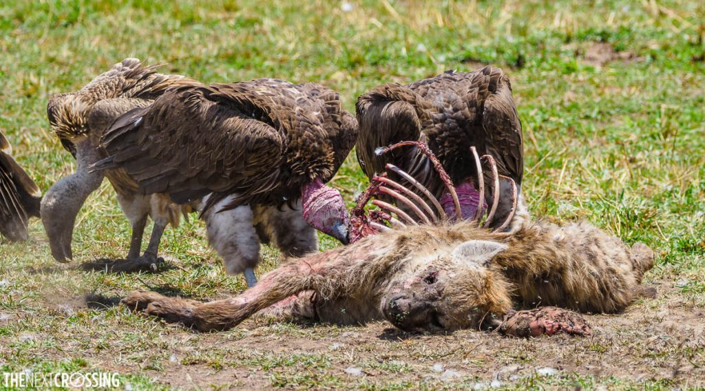 Hyena carcass being picked clean by vultures