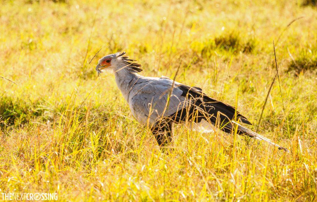 A secretary bird in the golden sunlight