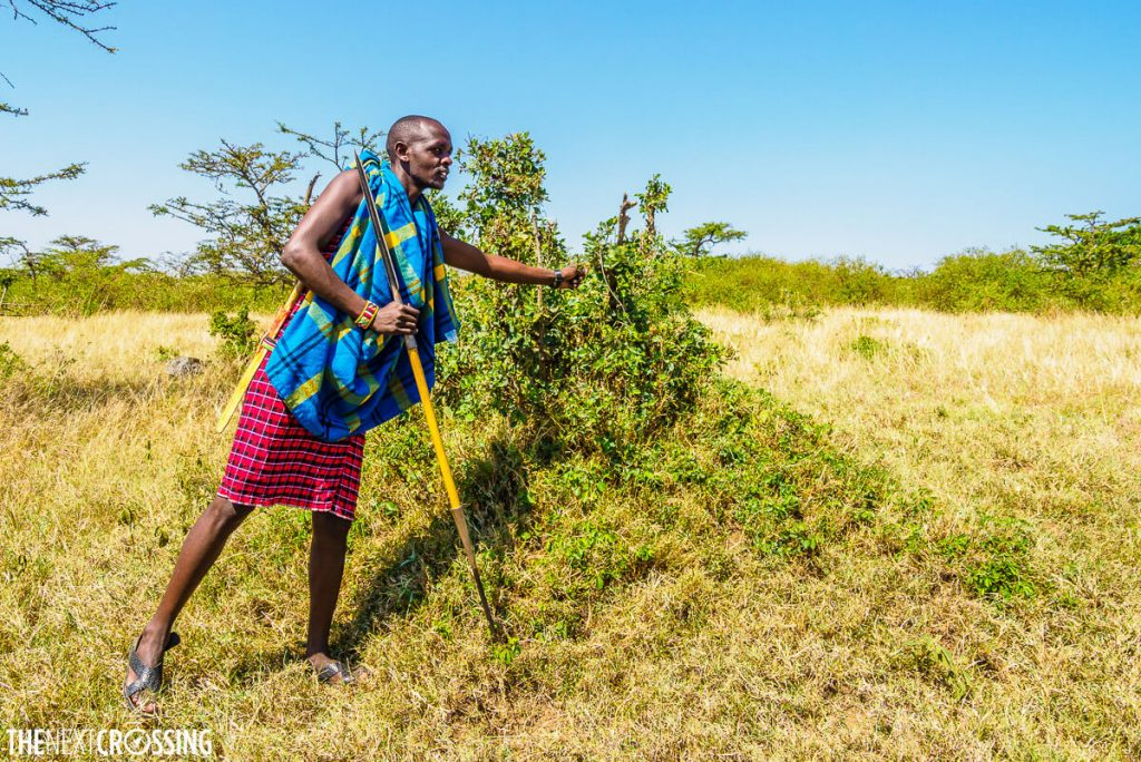 Maasai guide demonstrating the uses of plants on the African savannah