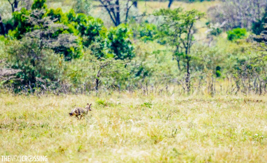 A bat eared fox running away on the plains of the Masai Mara