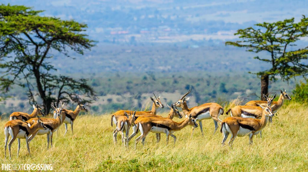 A herd of Thompson's gazelles which we photographed while on foot in the Masai Mara