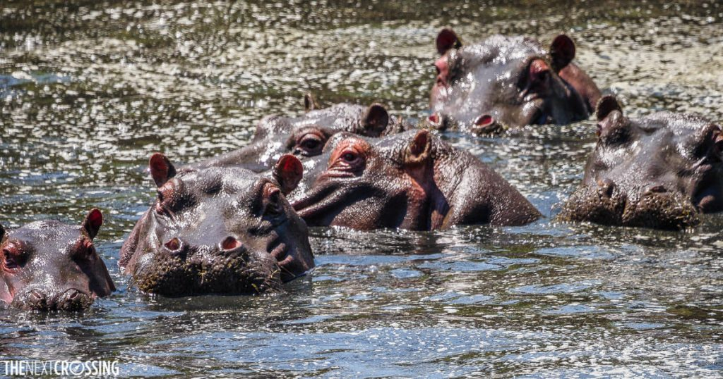 A pod of hippos encountered on our walking safari, their faces half hidden in the sparkling waters of the Laikipia river