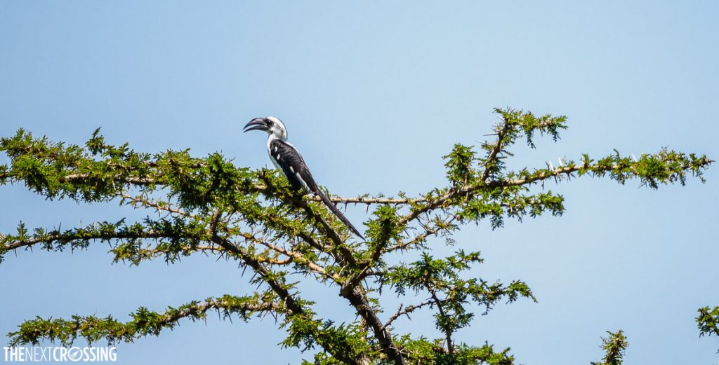 An African grey hornbill in the canopy of a thorny acacia tree