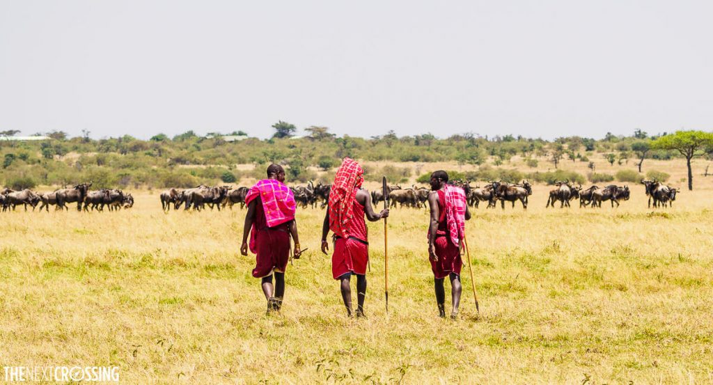 Three Maasai guards, wielding weapons, walking through the golden grass of the African savannah. In the distance is a large herd of wildebeests