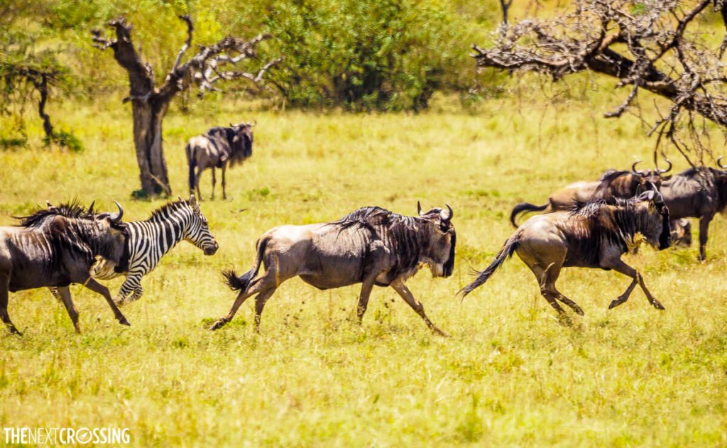 Wildebeests and zebra running away from danger