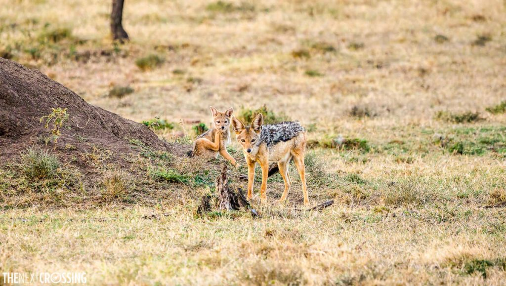 A black-backed jackal calf and his mother