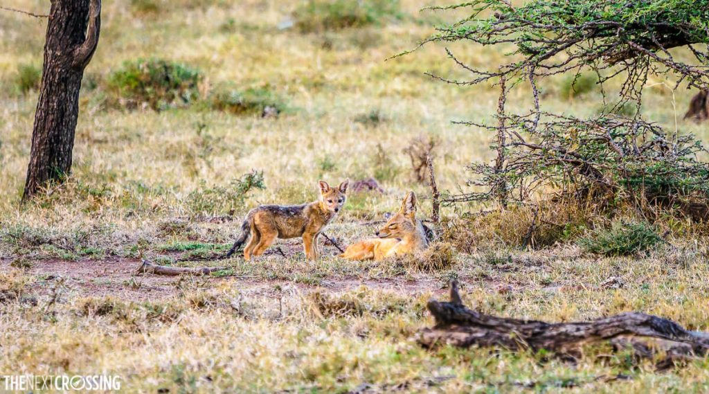 Black-backed Jackal cub and his mother in the bushes of Mara Naboisho