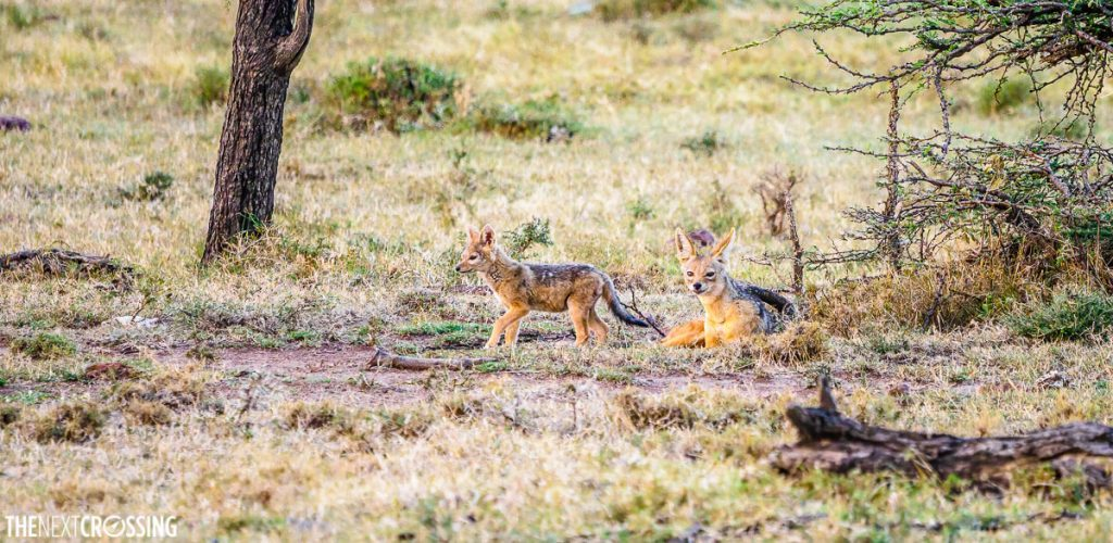 Two black-backed jackals - a mother and her calf in the savannah of Mara Naboisho