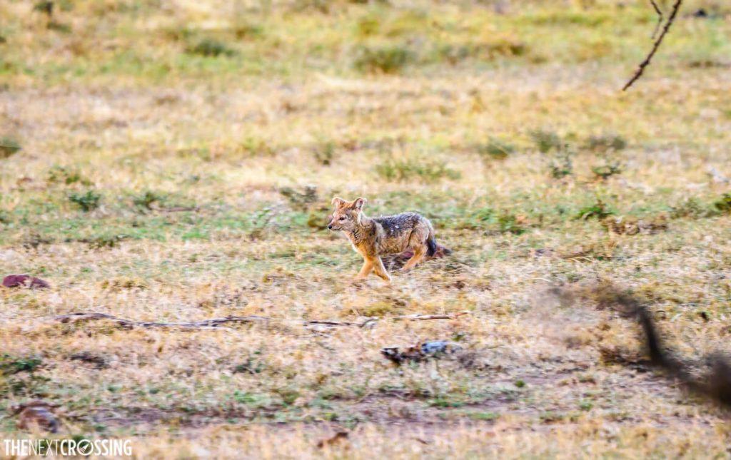 Black-backed jackal cub running in the savannah grass
