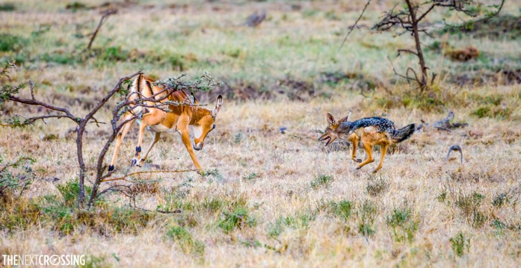 Black-backed jackal attacking adult impala, the impala has her head down in a defensive post