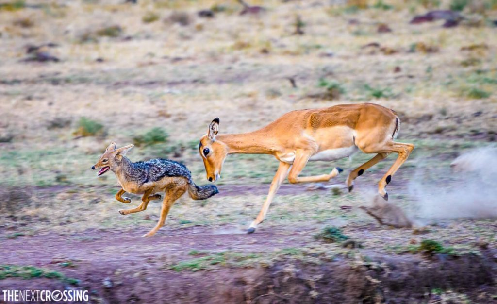 Adult impala chasing, and trying to head butt a black-backed jackal