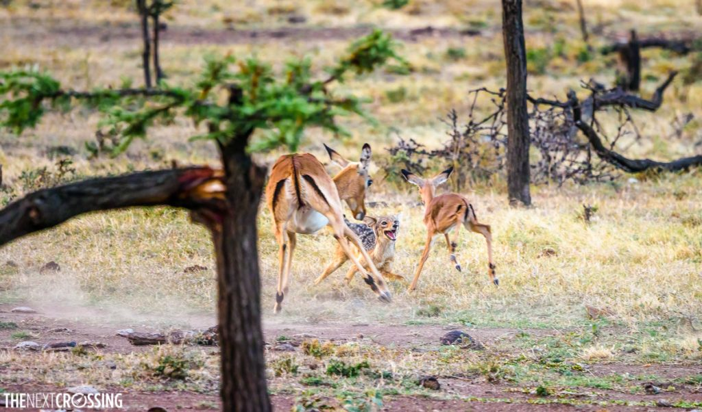 Black-backed jackal attacking impala calf and mother