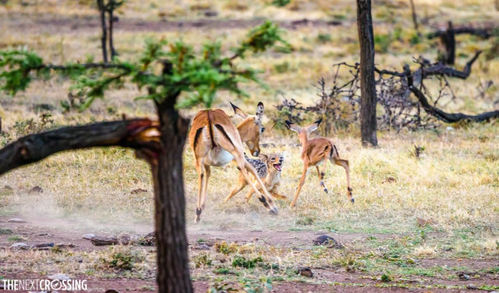 One of the most exciting moments of our Masai Mara Safari, a black-backed Jackal hunting a baby impala in Mara Naboisho