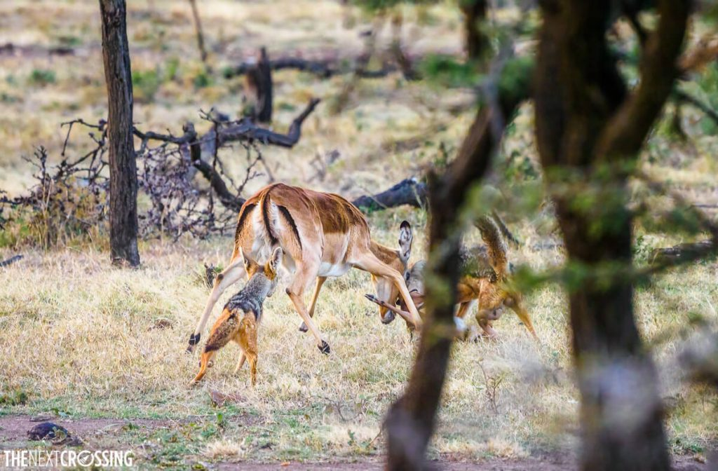 Two jackals attacking a mother Impala and her calf