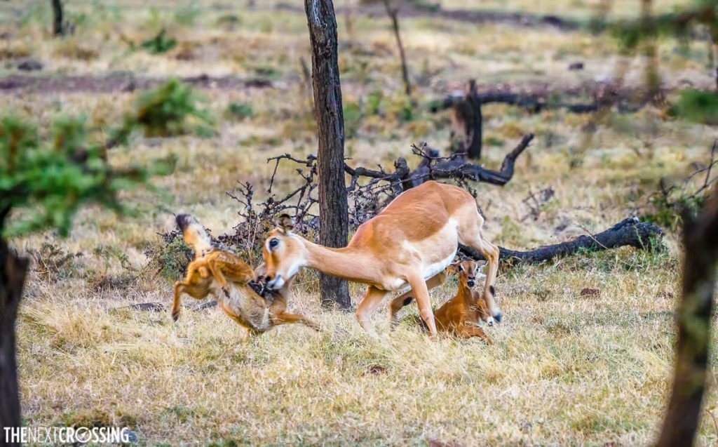 The mother Impala attacking the jackal to get him off her baby