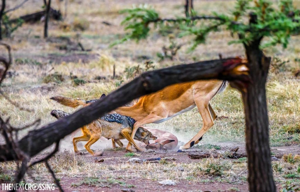Impala and jackals fighting over a dead body of impala's calf