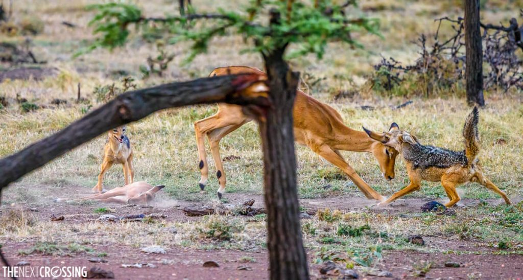 Mother impala trying to fend off the jackals attacking her calf