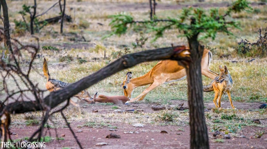 Impala mother nudging her dead calf