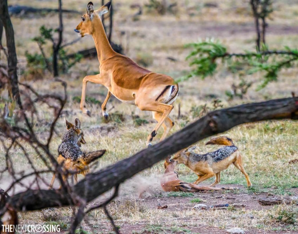 Two jackals hunting an impala calf - one has the neck of the baby in its jaws. The mother impala is leaping away from the scene