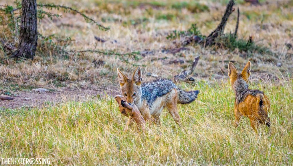black-backed jackal with a baby impala in its mouth