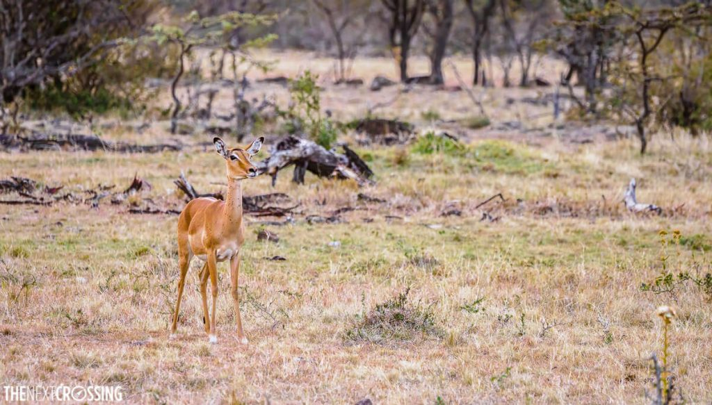 Impala looking on at the jackals who had successfully hunted her baby