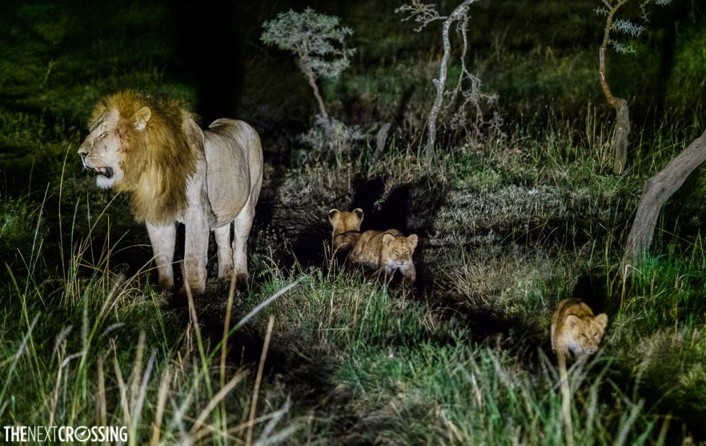 Three lion cubs and a large male lion with a full mane - photographed at night