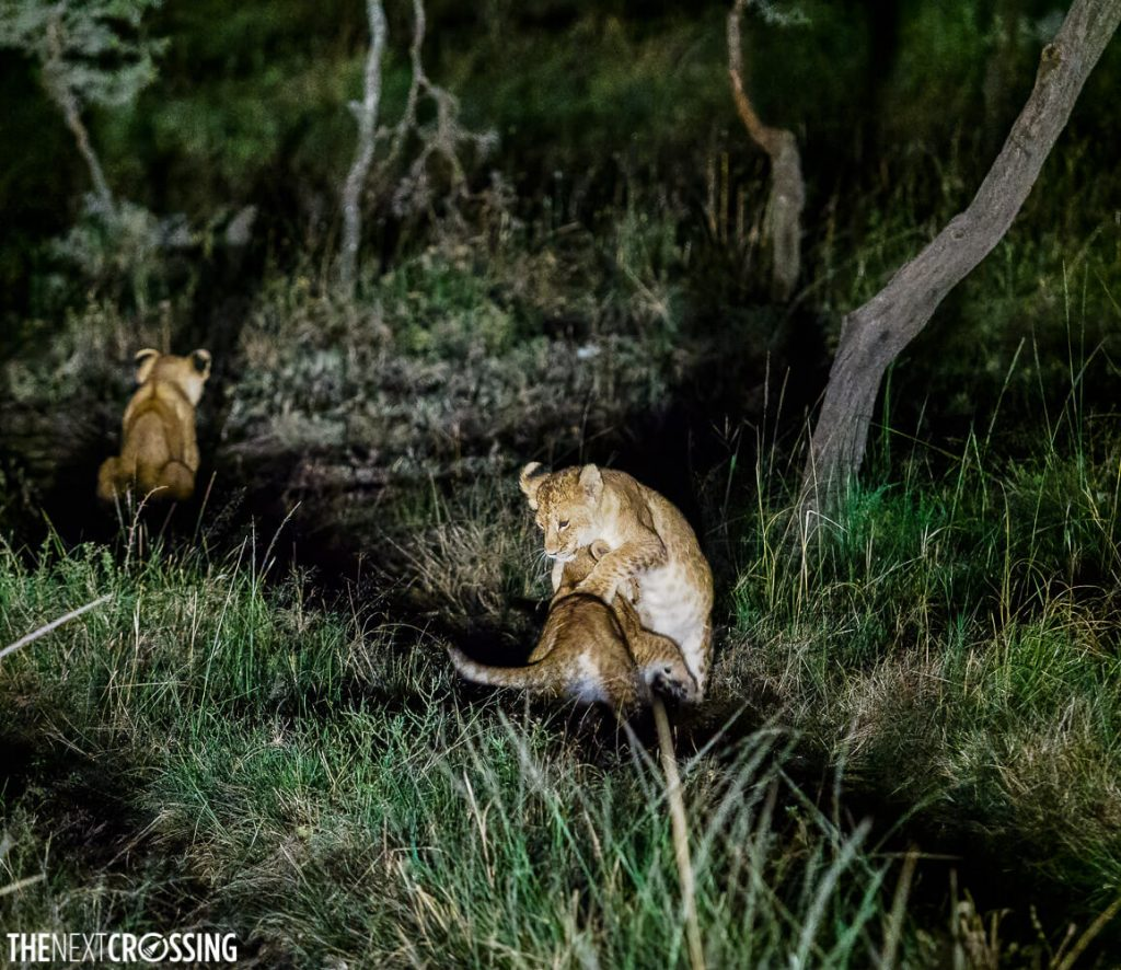 Three lion cubs. Two of them are play fighting and pouncing on each other.