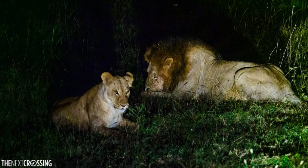 A lion and lioness resting in the green grass late at night