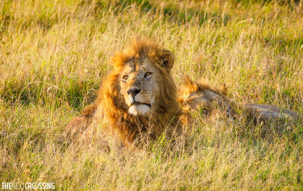 Two male lions caught resting in the tall grass of the African savannah, under the golden morning light