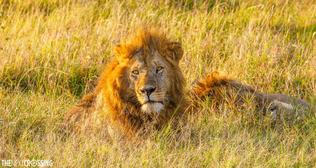 Two lions resting in the long grass at dawn