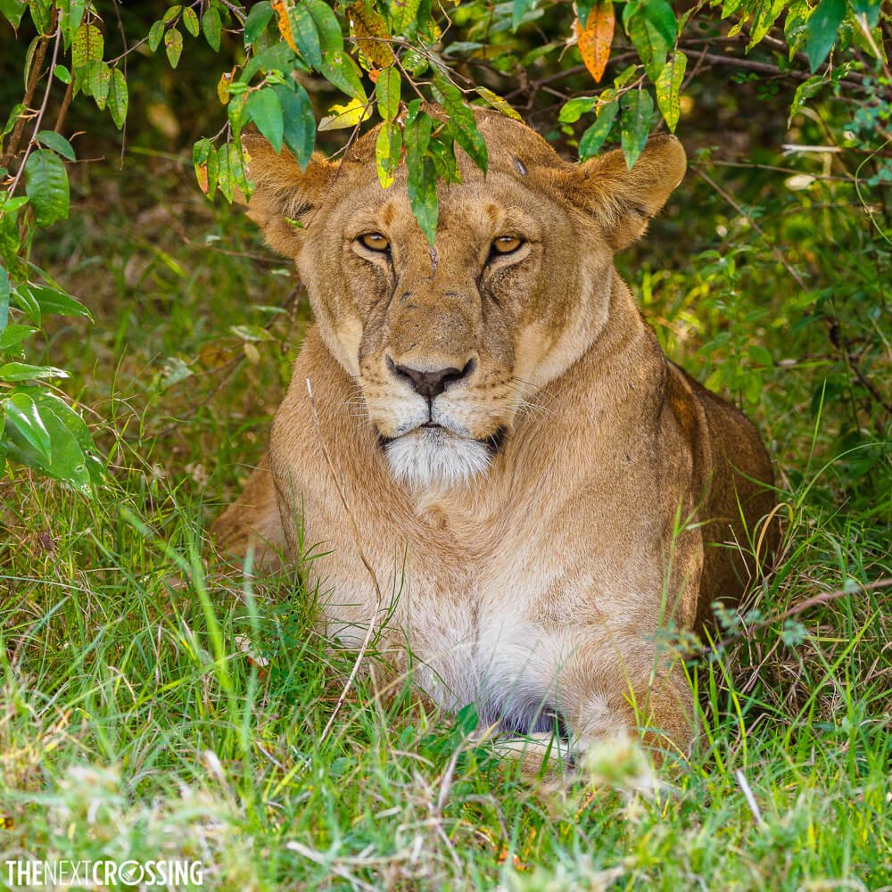 Lioness hiding in an orange croton bush, a natural insect repellent