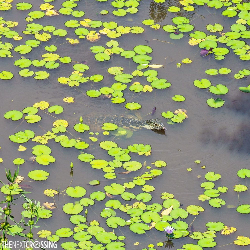 A monitor lizard in the watering hole