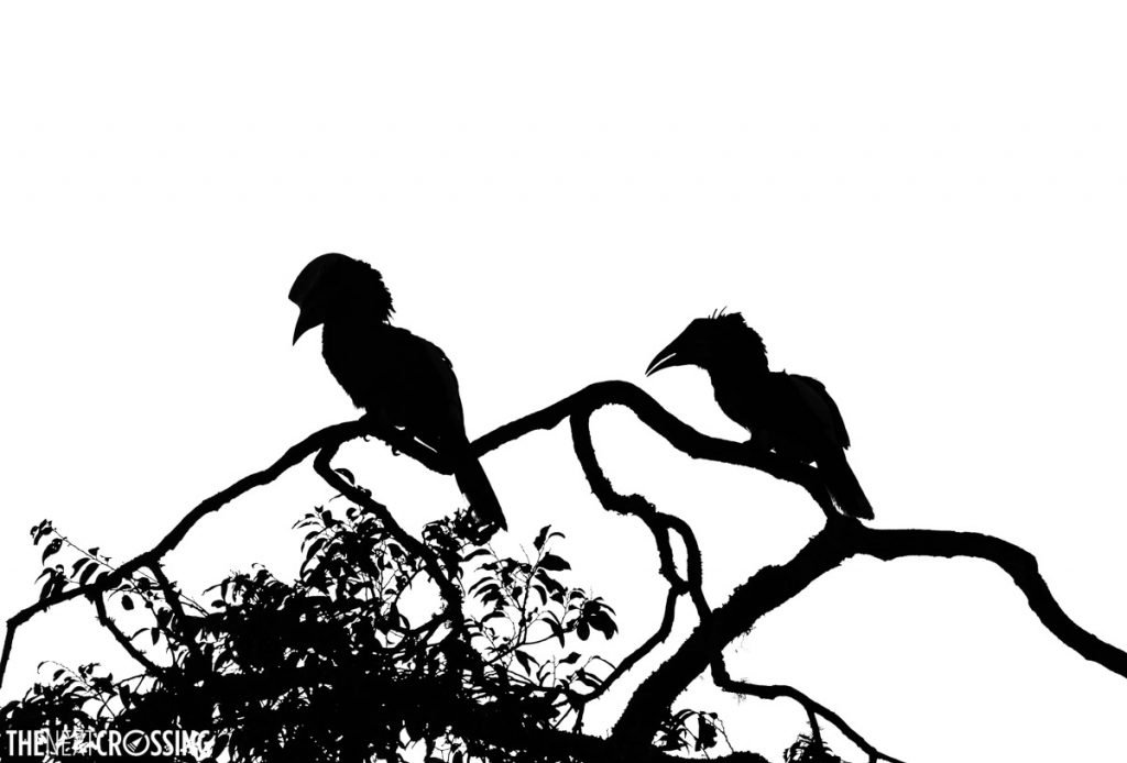 silhouettes of two hornbills