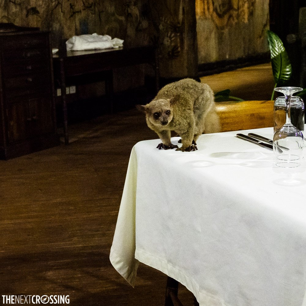 Bush baby on the end of a dinner table in Shimba Hills Lodge